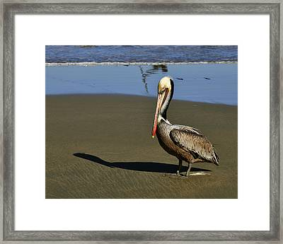 Shy Pelican Framed Print by Gandz Photography