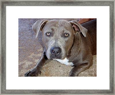 Shy Pit Bull Puppy Framed Print by Mary Deal