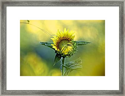 Shy Sunflower Framed Print