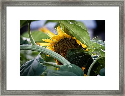 Framed Print featuring the photograph Shy Sunflower by Wayne Meyer