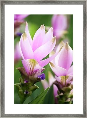 Siam Tulip (curcuma Alismatifolia) Framed Print