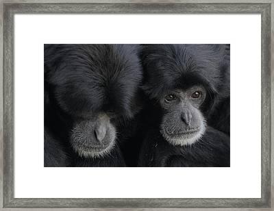 Siamang Pair Framed Print