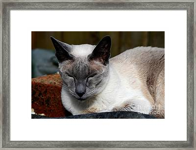 Siamese Cat Rests And Basks In Sunlight  Framed Print