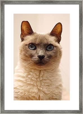 Siamese Cat Framed Print by Richard Cheski