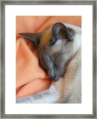 Siamese Snooze 3 Framed Print