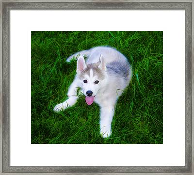 Siberian Huskie Framed Print by Bill Cannon