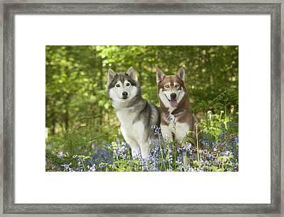 Siberian Huskies Framed Print by John Daniels