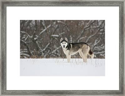 Siberian Husky 20 Framed Print