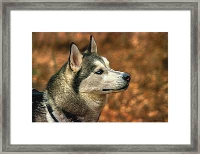 Siberian Husky Framed Print by Dennis Baswell