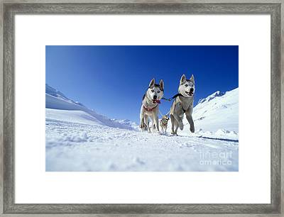 Siberian Husky Dogs Framed Print