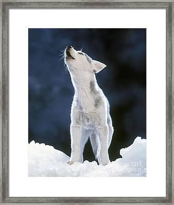 Siberian Husky Howling Framed Print by Jean-Michel Labat