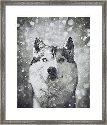 Siberian Husky In The Snow Framed Print by Wolf Shadow  Photography