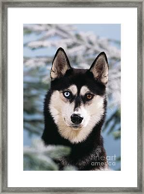 Siberian Husky Framed Print by John Daniels