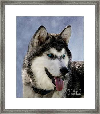Siberian Husky Framed Print by Linsey Williams