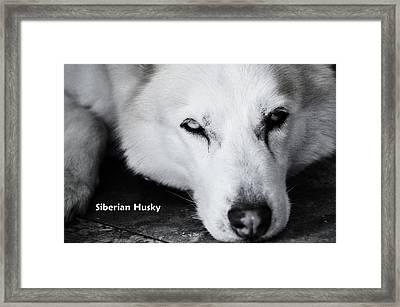 Siberian Husky  Framed Print by Lisa  DiFruscio