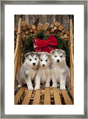 Siberian Husky Puppies In Traditional Framed Print by Jeff Schultz
