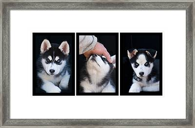 Siberian Husky Puppies Mans Best Friend Framed Print