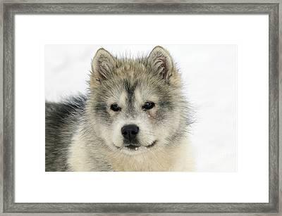 Siberian Husky Puppy Framed Print by M. Watson