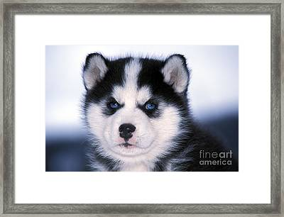 Siberian Husky Puppy Framed Print by Rolf Kopfle