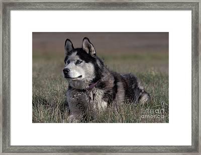 Siberian Husky Framed Print by Rolf Kopfle