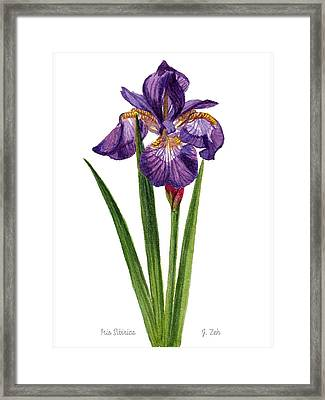 Siberian Iris II - Iris Sibirica Framed Print
