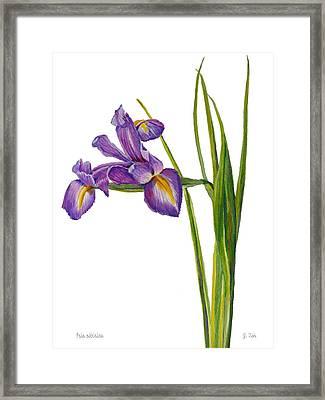 Siberian Iris - Iris Sibirica Framed Print