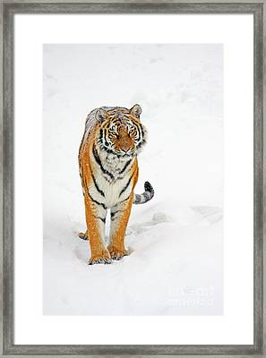 Siberian Tiger Animal Framed Print by Boon Mee