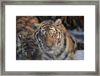 Siberian Tiger Framed Print by Brett Geyer