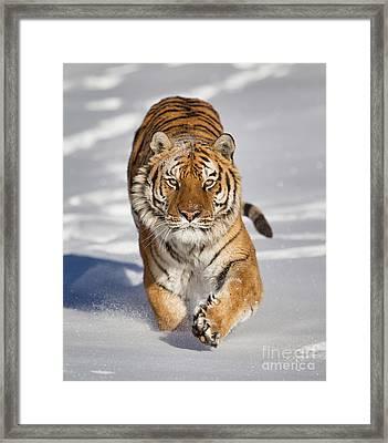 Siberian Tiger Coming Forward Framed Print