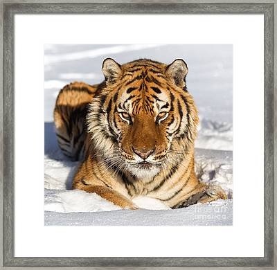 Siberian Tiger Face To Face Framed Print by Jerry Fornarotto