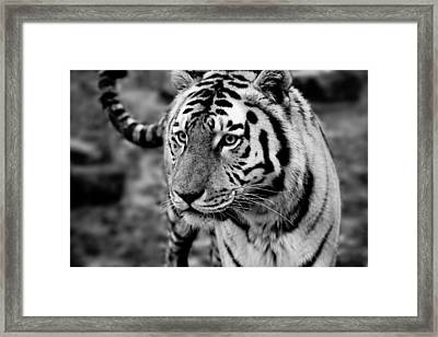 Siberian Tiger Monochrome Framed Print by Semmick Photo