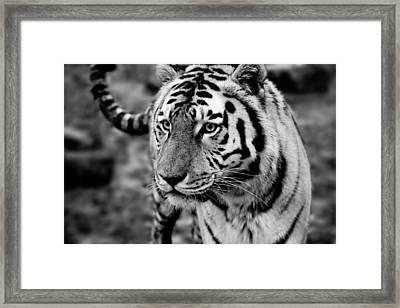 Siberian Tiger Monochrome Framed Print by Semmick Photo