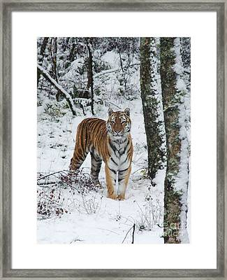 Siberian Tiger - Snow Wood Framed Print