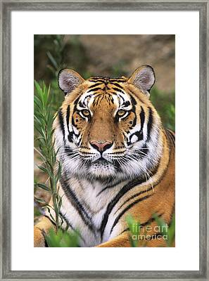 Siberian Tiger Staring Endangered Species Wildlife Rescue Framed Print by Dave Welling