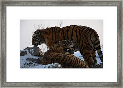 Siberian Tigers Framed Print by Brett Geyer