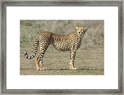 Side Profile Of A Cheetah, Ngorongoro Framed Print by Panoramic Images