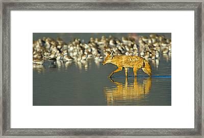 Side Profile Of A Golden Jackal Wading Framed Print