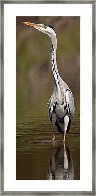 Side Profile Of A Grey Heron Ardea Framed Print