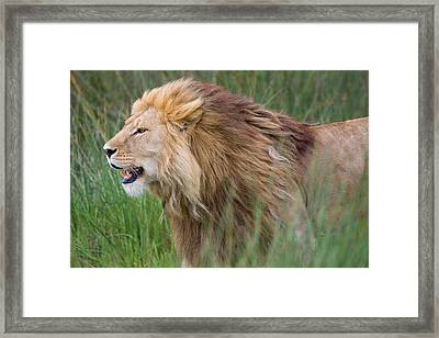 Side Profile Of A Lion In A Forest Framed Print by Panoramic Images