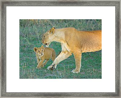 Side Profile Of A Lioness Walking Framed Print by Panoramic Images