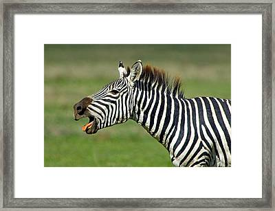 Side Profile Of A Zebra Braying Framed Print by Panoramic Images