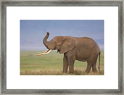 Side Profile Of An African Elephant Framed Print by Panoramic Images