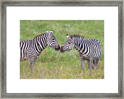 Side Profile Of Two Zebras Touching Framed Print by Panoramic Images