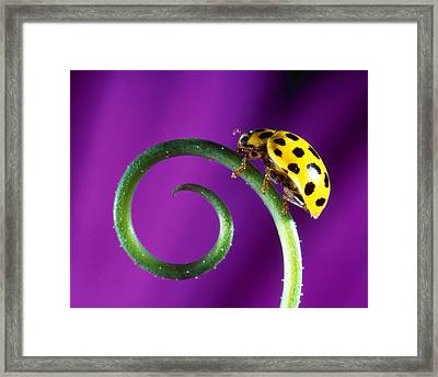 Side View Close Up Of Yellow Ladybug Framed Print