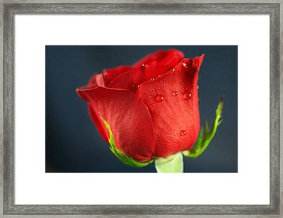 Side View Of A Wet Rose Framed Print