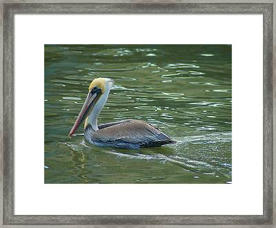 Sidelong Look From A Pelican Framed Print by Sarah Crites