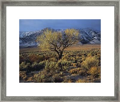 Sierra Sunlit Tree Framed Print