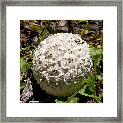 Framed Print featuring the photograph Sierran Puffball by Betty Depee