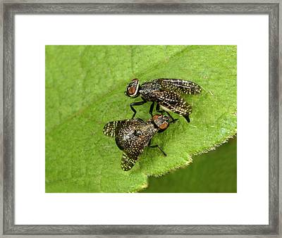 Signal Flies Mating Framed Print by Nigel Downer