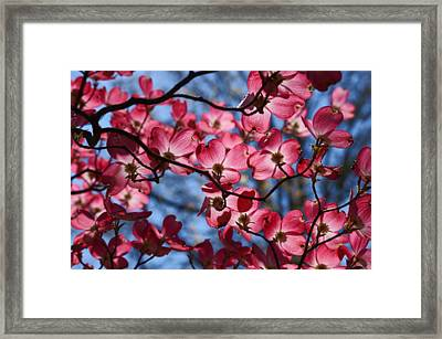 Silhouette Of A Dogwood Framed Print by Karen Ray